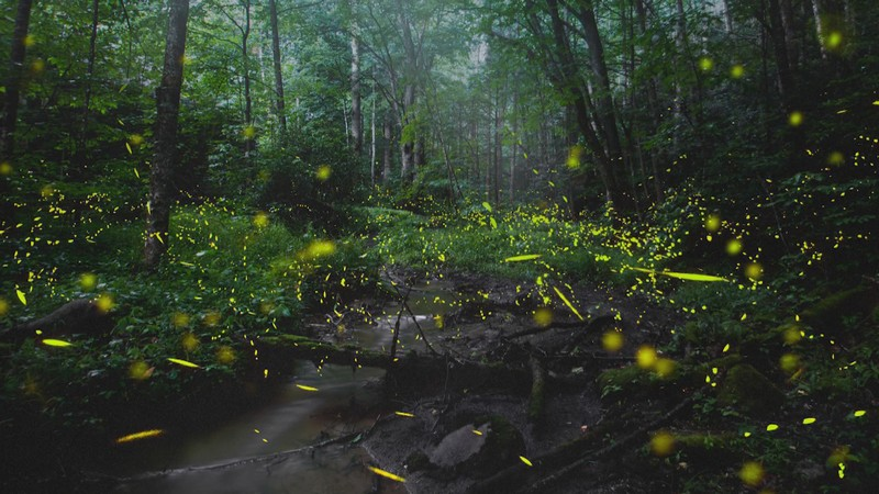 Wanderlust Tips Magazine | Christmas lights made by synchronous fireflies on Great Smoky Mountains