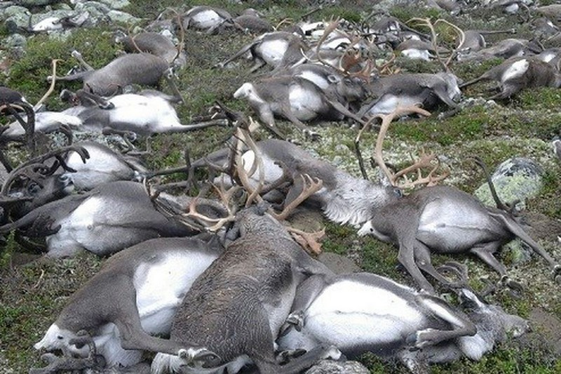 Wanderlust Tips Magazine | 323 reindeers killed by lightning strike in Norwegian national park