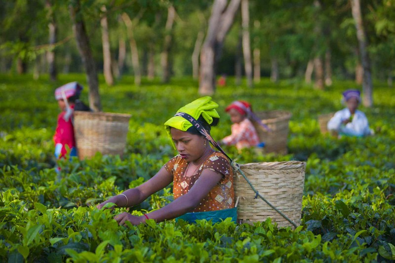 Wanderlust Tips Magazine | Tea plantation tour in India