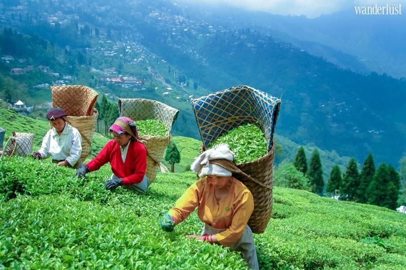 Wanderlust Tips Magazine | The 5 major regions in Asia for tea lovers